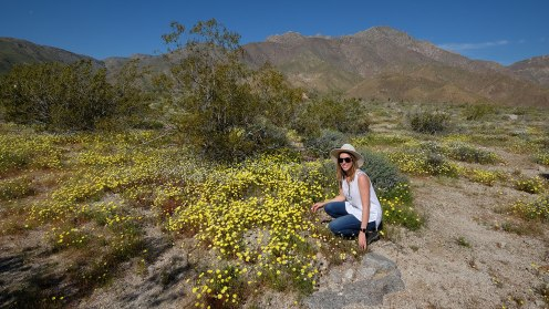 Yellow Desert Daisy